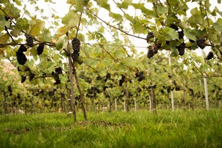The Oxney Case For Organic English Wines