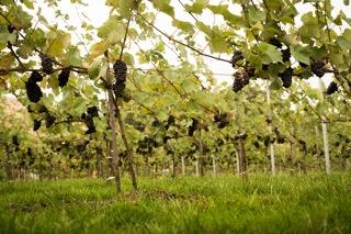organic English wine