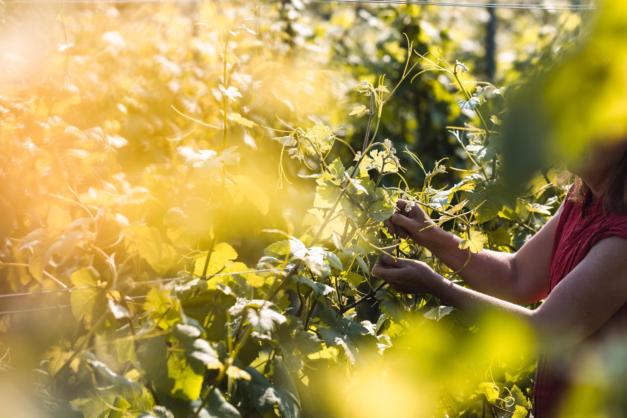 Oxney Organic vineyard English wine harvest 2021