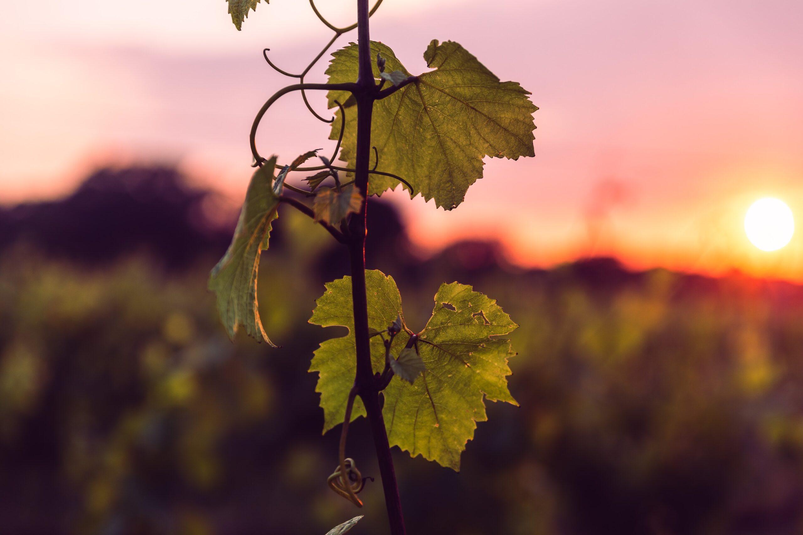 Oxney Organic English wine vineyard 2021 harvest